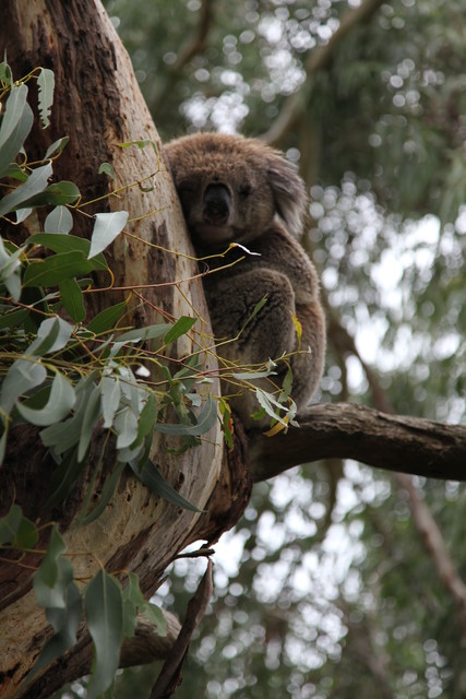 A resident of Phillip Island's Koala Conservation Centre